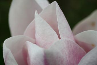 March Magnolia Bloom